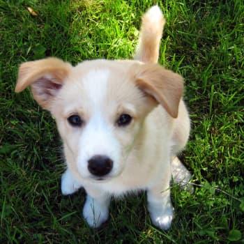 Radio Suomesta poimittuja: Koirat haistavat ihmisen tunteet