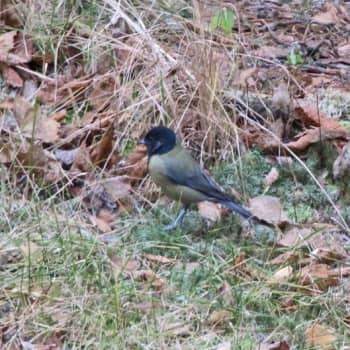 Luonto-ohjelmista poimittua: Kuuntelija kysyy: Mikä lintu?