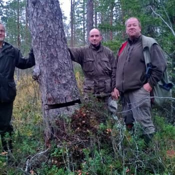 Metsäradio.: Suomen vanhin puu on Lapissa