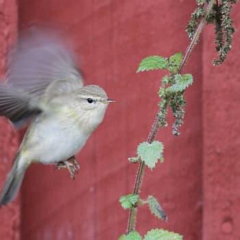 Luontoretki.: Pellojärven lintukesä