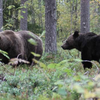 Luontoretki.: Ovatko karhut kavereita keskenään?