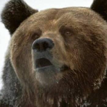 Missä piilee karhun voima?