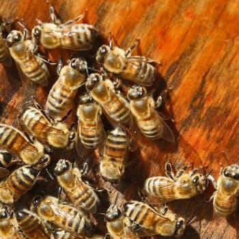 Minna Pyykön maailma: Mehiläisten elämästä