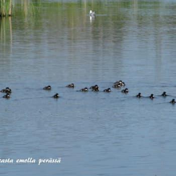 Luonto-ohjelmista poimittua: Kuuntelija kysyy: Miksi tällä telkällä ui 26 poikasta perässään?