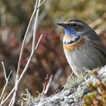 Luontoretki.: Kilpisjärven sinirinnat