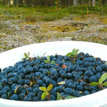 Puheen Päivä: Suomalainen mustikka on suosittua maailmalla