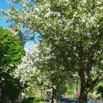 Minna Pyykön maailma: Kukkivien puiden lumoissa