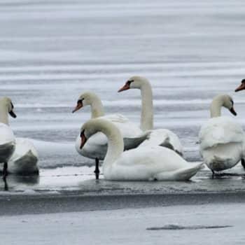 Luontoretki.: Uudenmaan muuttuva linnusto