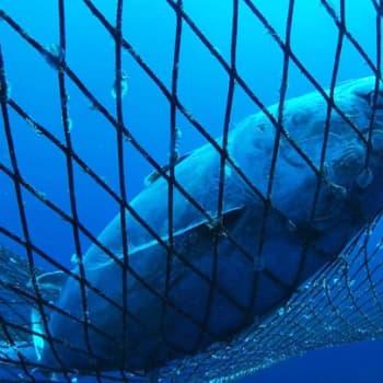 Maailmanpolitiikan arkipäivää: EU yrittää viimein suitsia ylikalastusta