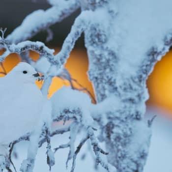 Minna Pyykön maailma: Riekkoja lumella