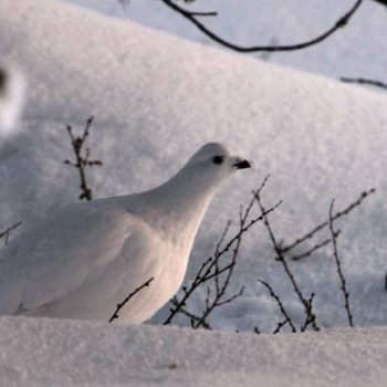 Luonto-Suomi.: Kanalintuilta