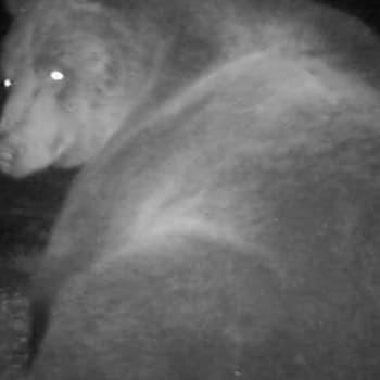 Luontoretki.: Karhuja kahdessa metrissä