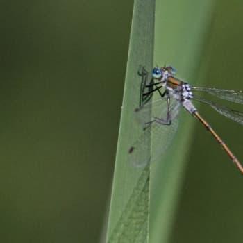 Minna Pyykön maailma: Hyönteisten lentotaito
