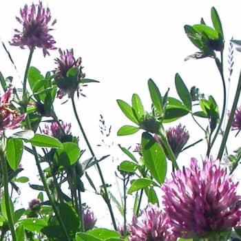 Minna Pyykön maailma: Kasvien salaiset voimat