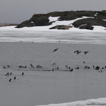 Luonto-Suomi.: Ahvenanmaan linnut Luonto-Suomessa