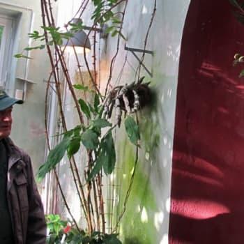 Minna Pyykön maailma: Pentti Alangon puutarhatarinoita