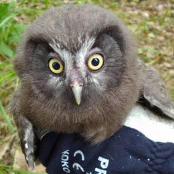 Luonto-ohjelmista poimittua: Käyttävätkö pöllönpoikaset linnunpönttöä levähdyspaikkana?