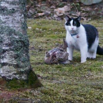 Luonto-ohjelmista poimittua: Kissa on peto