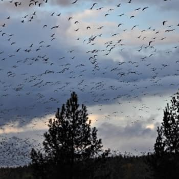 Luonto-Suomi.: Muuttolintujen matkassa