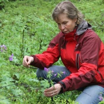 Luontoretki.: Metsäkurjenpolvi juhannuskukkana
