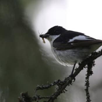 Minna Pyykön maailma: Linnut ympäristötiedon lähteenä