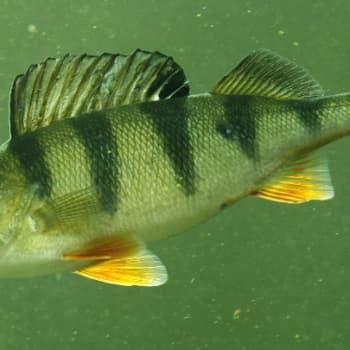 Minna Pyykön maailma: Kalojen aistien maailmaa