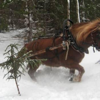 Metsäradio.: Hevonen hävisi puukuorman edestä
