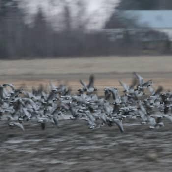 Luontoretki.: Valkoposkihanhia talven kynnyksellä