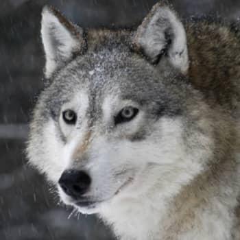 Minna Pyykön maailma: Osmo Rauhalan eläintarinoita