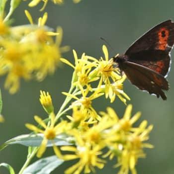 Minna Pyykön maailma: Perhosten siivet