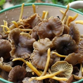 Puheen Päivä: Suomalaisia sieniä ulkomaille