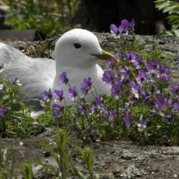 Luonto-Suomi.: Teemailta: lintuluotojen pesintärauha