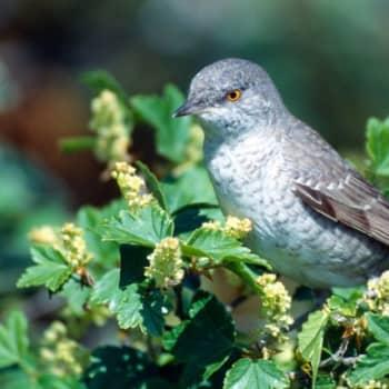 Kevät lintusaarella: Ruislinnun laulu ja kirjokerttu
