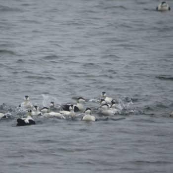Kevät lintusaarella: Haahkakoiraat matkalla länteen