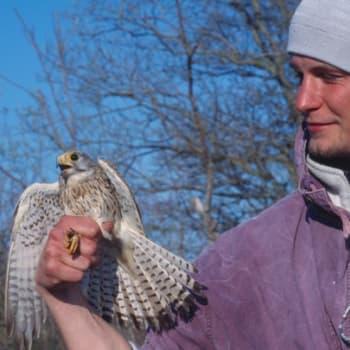 Kevät lintusaarella: Nuoret koiraat kohtaavat