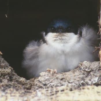 Kevät lintusaarella: Räystäspääskyt pesimäpuuhissa