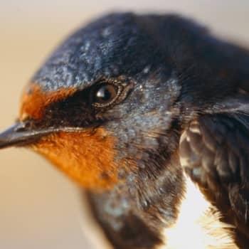 Kevät lintusaarella: Haarapääskyt kuistilla