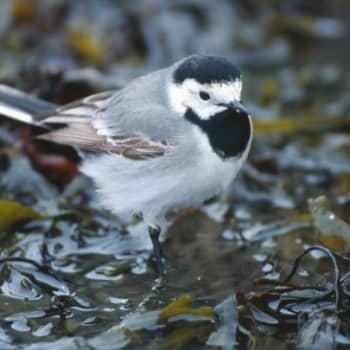Kevät lintusaarella: Kalaverkkojen puhdistus