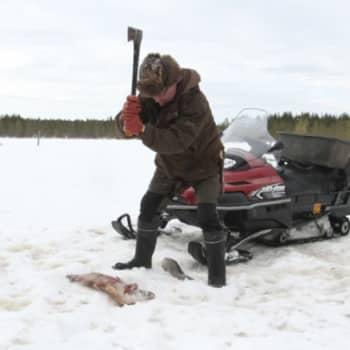 Luontoretki.: Suurpetoja Kuhmon Viiksimossa