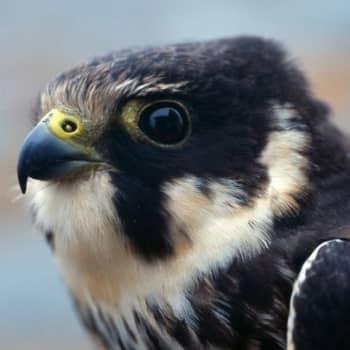 Kevät lintusaarella: Kiikittävä nuolihaukka
