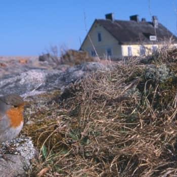 Kevät lintusaarella: Kolme tuhatta punarintaa
