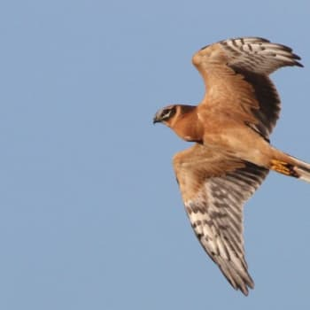 Minna Pyykön maailma: Lintujen suunnistamisen salaisuudet