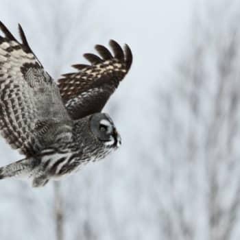 Luontoretki.: Rovaniemellä pöllöretkellä