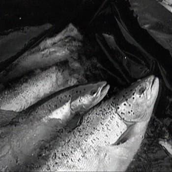 Sattuipa Lapissa: Muonionjoen kalasaaliit 100 vuotta sitten