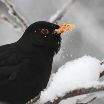 Luontoretki.: Kuopion lintukevät 18.3.2012