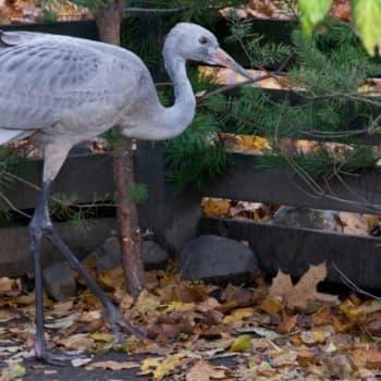 Luonto-Suomi.: Kurki hoidossa 16.11.2011