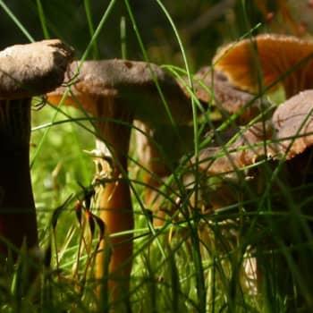 Teemaillat: Luonto-Suomen sieni-ilta 31.8.2011