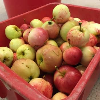 Juvan mehuasemalla on puristettu jo tuhansia kiloja omenoita mehuksi