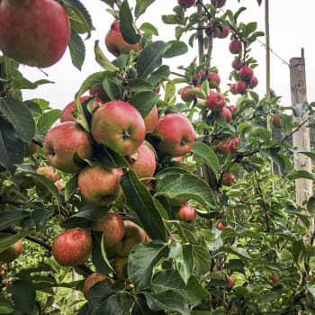 Nu är äppelskörden på gång för fullt på Söderlångvik gård