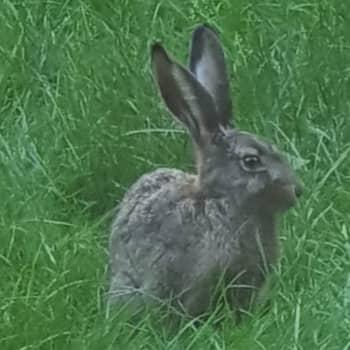 Vad skiljer en kanin och en hare?